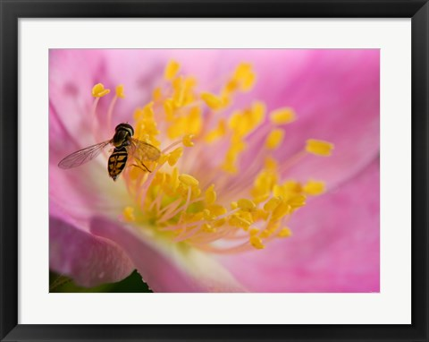 Framed Bee On Pink And Yellow Flower Print