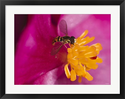 Framed Bee On Pink And Yellow Flower Closeup Print