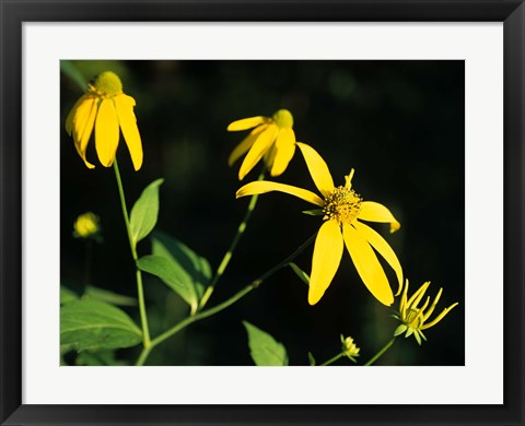 Framed Yellow Blooming Flowers And Stem Print