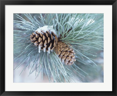 Framed Frosted Pine Cone And Pine Needles II Print
