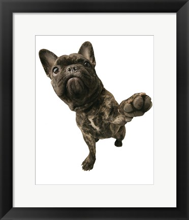 Framed Brown Pug Offering Paw Print