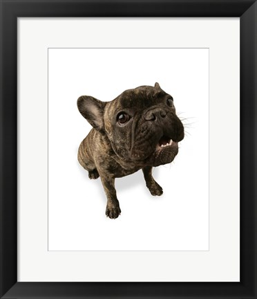 Framed Brown Pug Portrait On White Print