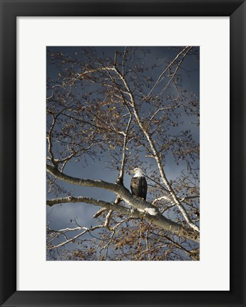 Framed Eagle In Fall Tree Print