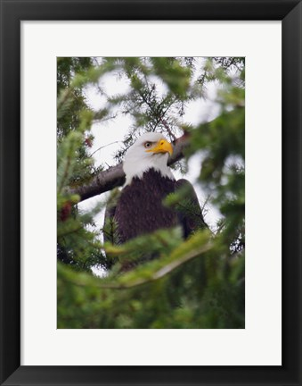 Framed Eagle And Pine Needles Print