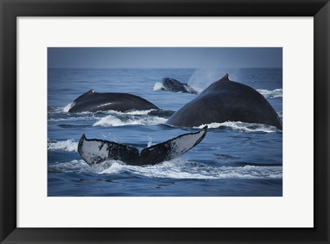 Framed Whale Tails And Humps Print