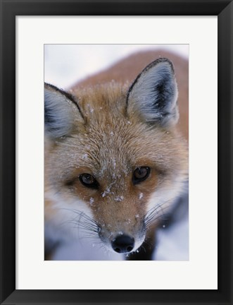 Framed Red Fox And Winter Frost Print
