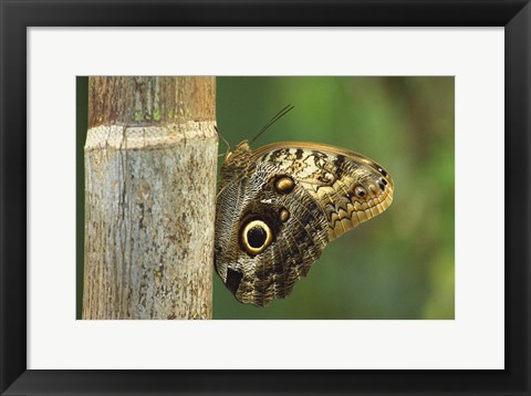 Framed Caligo Butterfly Solo Print