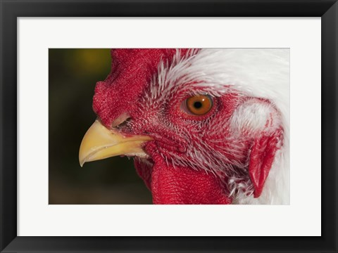 Framed Red And White Rooster Closeup Print