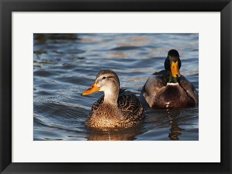 Framed Just A Duck Duo Print