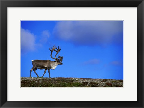 Framed Blue Sky And Caribou Print