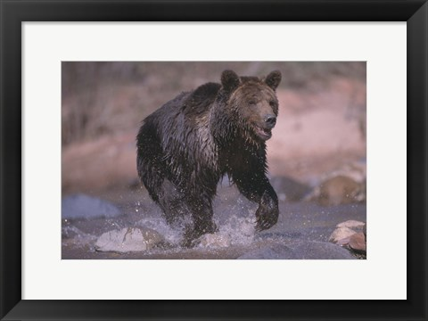 Framed Bear And The River Print