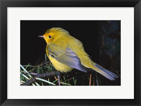 Framed Bird Yellow And Gray On Branch Print