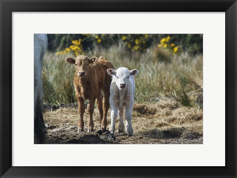 Framed Brown And White Sheep Print