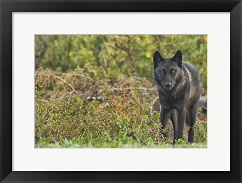 Framed Black Wolf In The Brush Print