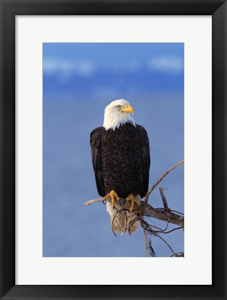 Framed Eagle Pausing Blue Sky Print