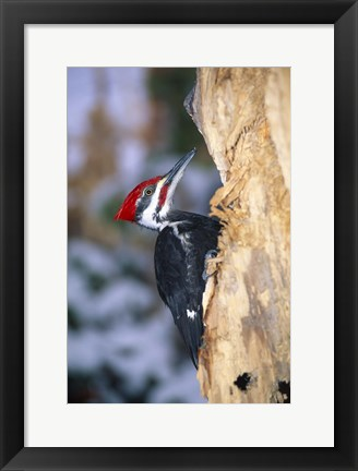 Framed Woodpecker On Bark Print