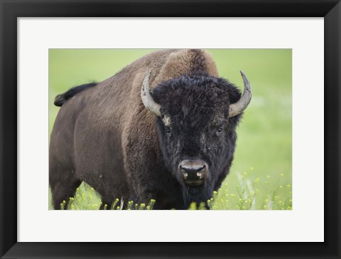 Framed Buffalo Closeup II Print