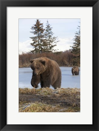 Framed Bear On The Field Print
