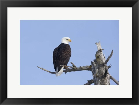 Framed Eagle Perched On Wood Print
