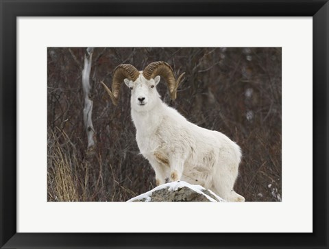 Framed White Ram Brown Horns I Print