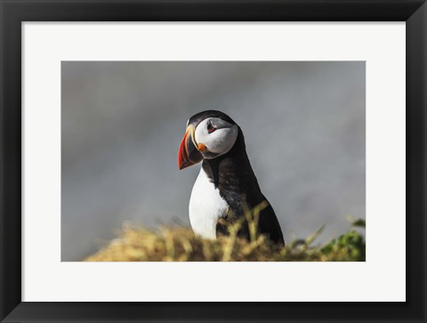 Framed Puffin Bird Colorful Beak Print