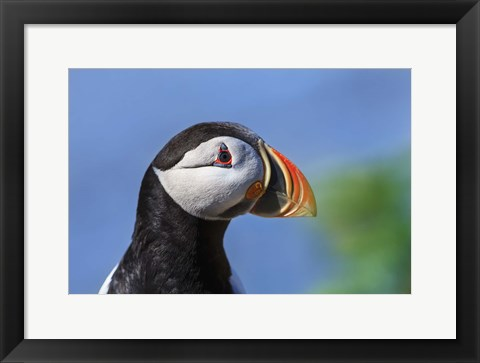 Framed Puffin Bird Colorful Beak Closeup II Print