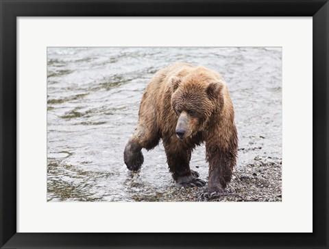 Framed Wet Bear Walk Print
