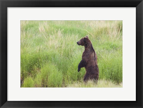 Framed Bear In High Grass Print