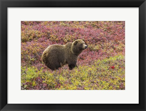 Framed Bear In Colored Field Print