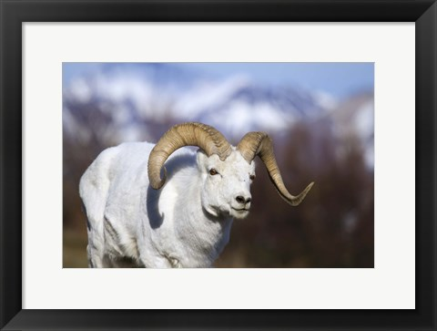 Framed White Ram Brown Horns II Print