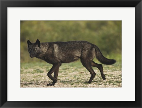 Framed Black Wolf On The Prowl Print