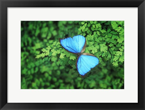 Framed Blue Butterfly Greenery Print