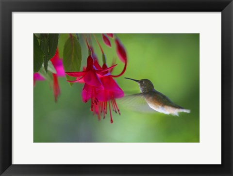 Framed Hovering Hummingbird Print