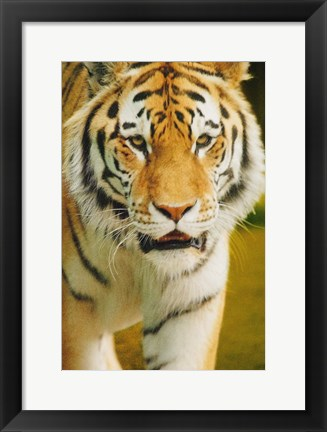 Framed Tiger Approaching Print