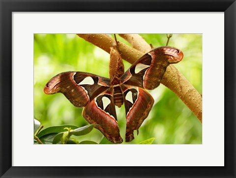 Framed Cecropia Moth Print