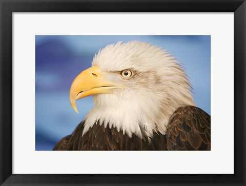 Framed Wise Bald Eagle Profile Print