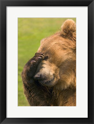 Framed Brown Bear Disbelief Print