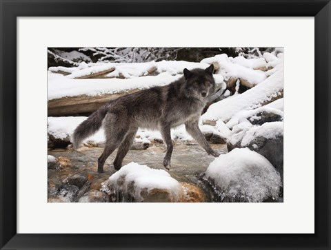 Framed Gray Wolf And Snow River Print