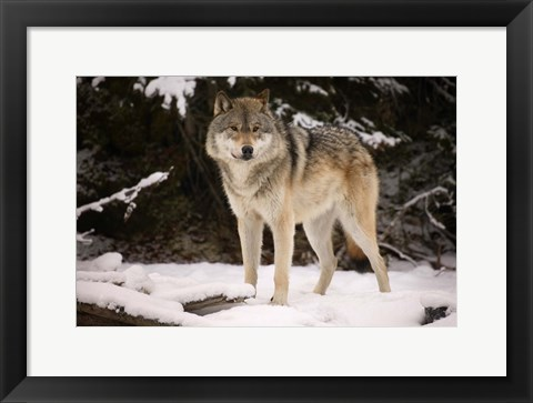Framed Brown Wolf In Winter Print