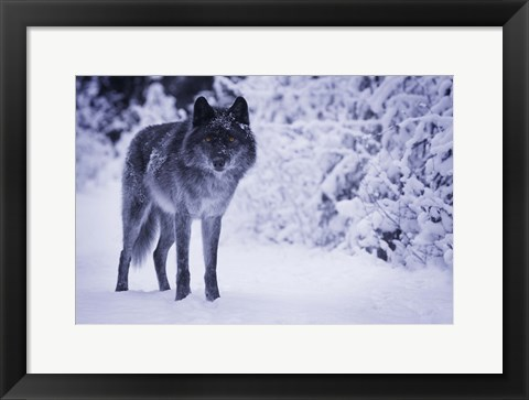 Framed Gray Wolf In Winter Snow Print