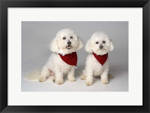 Framed White Fluffy Puppy Duo Print