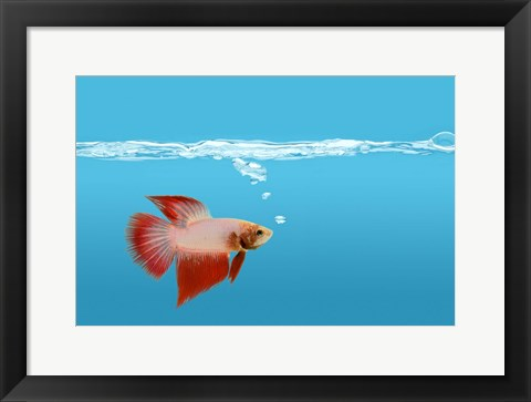 Framed Goldfish Gone Swimming II Print