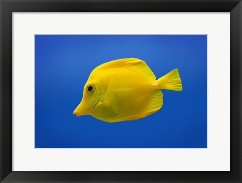 Framed Yellow Tang Fish On Blue Print