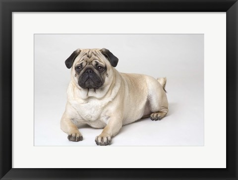 Framed Pug Sitting PortraitOn White Print