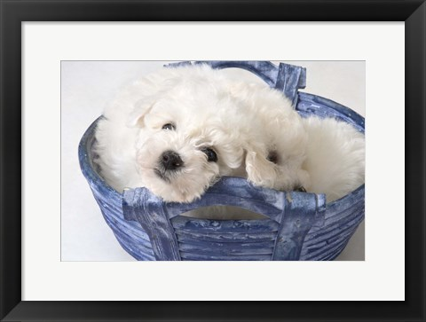 Framed White Puppy In Blue Basket Print