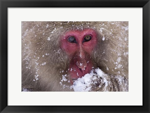 Framed Gray Monkey And Frost Closeup Print