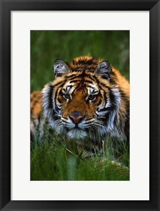 Framed Gazing Tiger Print