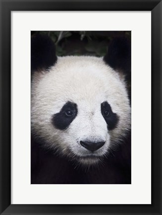 Framed Panda Closeup Print