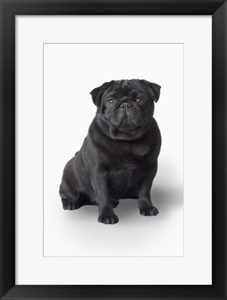Framed Black Pug Portrait On White Print