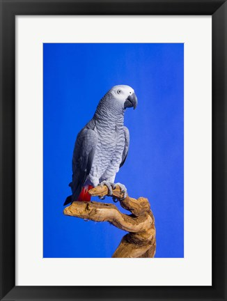 Framed Gray Parrot On Wood Print